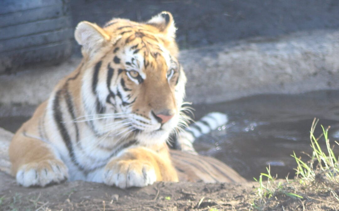 The Animal Defenders International Temporary Rescue Center –  Meeting the Tigers and Lions