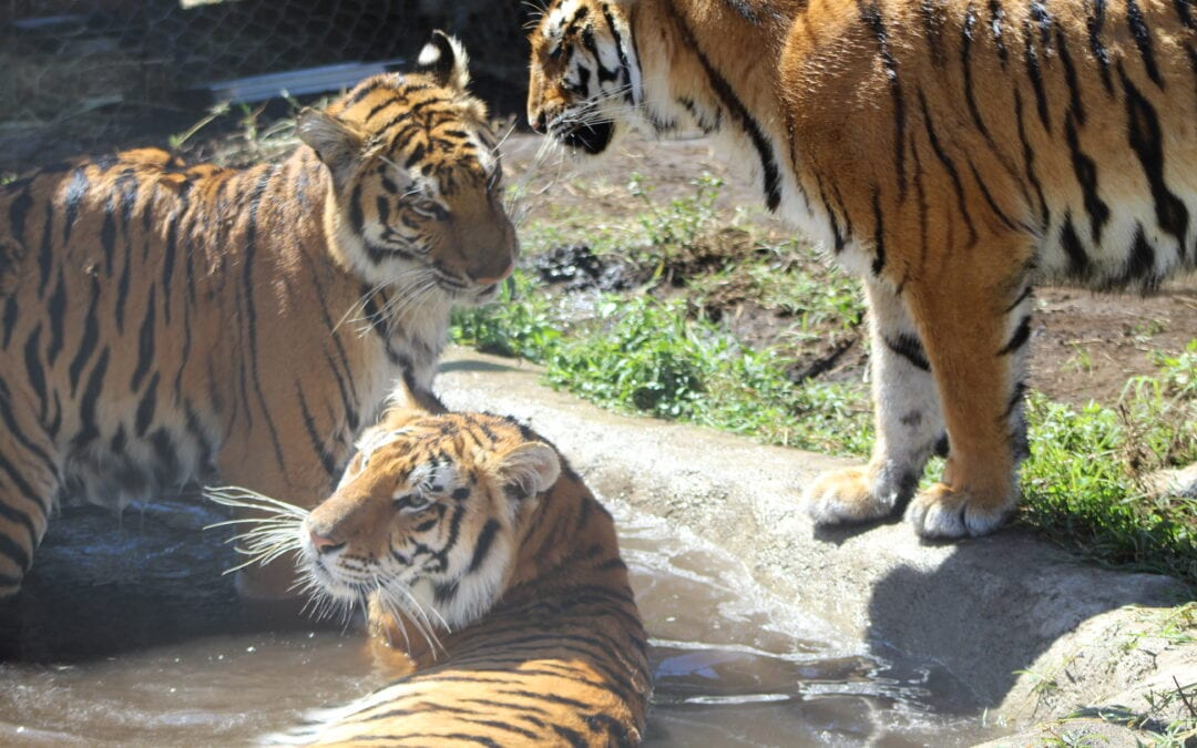 Lions and Tigers are Different – Part 1